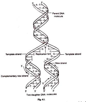 Dna Replication And Central Dogma Science Vision